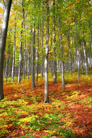 herbstwald no 1