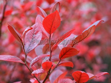 culture blueberry autumn coloring