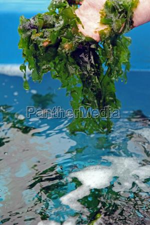 culture of sea lettuce ulva lactuca