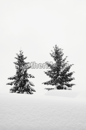 tree winter fir tree snowy conifer