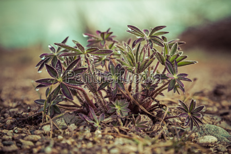 young lupine plants