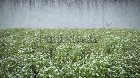 cleaver growing in front of concrete