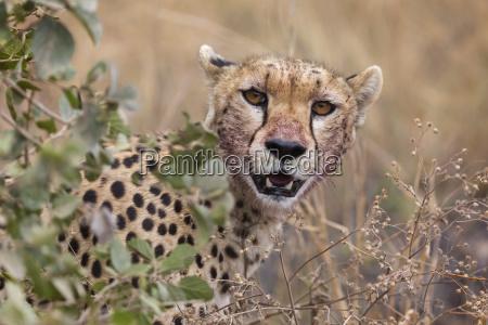 cheetah acinonyx jubatus serengeti national park