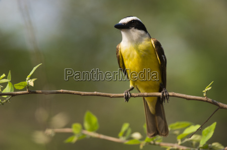a great kiskadee pitangus sulphuratus perching
