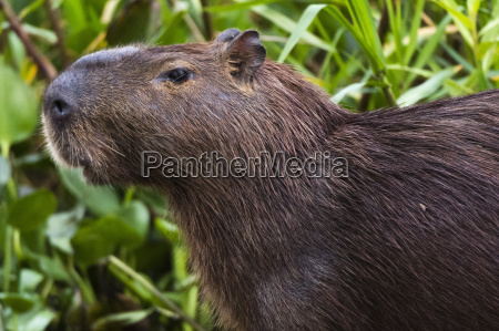 close up portrait of a capybara
